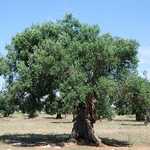 Small_epoch_products_olive_tree_by_yellow_cat