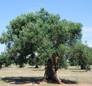 Thumb_epoch_products_olive_tree_by_yellow_cat