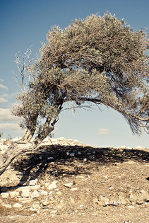 Portait_content_epoch_products_olive_tree_by_disparkys