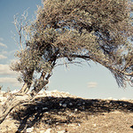 Small_content_epoch_products_olive_tree_by_disparkys